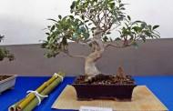 L'Associació de Bonsais de la Llagosta celebra la Segona Exposició de Bonsais i Cultura Oriental